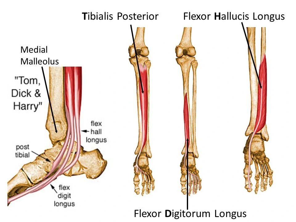 Flexor Hallucis Longus and Flexor Digitorum Longus:  Learn Your Muscles